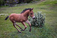 Wild colt, Tierra del Fuego, Argentina (pas le matin) Tags: colt poulain travel ushuaia tierradelfuego argentina voyage argentine southamerica patagonia patagonie world running courrir canon 5d 5dmkiii canoneos5dmkiii eos5dmkiii