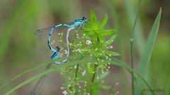 Paarungsrad der Großen Pechlibelle (Oerliuschi) Tags: paarungsrad libellen dragonfly grosepechlibelle makro lumix panasonicgh5 leicadg100400 postfocus heliconfocus