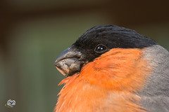 extreme close up of  male Bullfinch (Geert Weggen) Tags: eurasianbullfinch animal animalwildlife animalsinthewild bird colorimage day finch focusonforeground fringillidae fulllength horizontal imagefocustechnique maleanimal nature nopeople oneanimal outdoors passerinebird photography selectivefocus sideview sitting songbird twig closeup eye bullfinch sweden geert geertweggen weggen hardeko jämtland bispgården ragunda