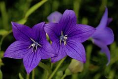 ...Toccami ! (kiareimages1) Tags: flowers fleurs fiori flores colors colori couleurs colores images imagery immagini imagenes purple summer garden macro macroflowers macrophoto