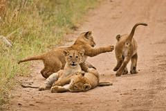 Lions of Maasai Kopjes 450 (Grete Howard) Tags: bestsafarioperator bestsafaricompany africa africansafari africanbush africananimals whichsafaricompany whichsafarioperator tanzania serengeti animals animalsofafrica animalphotos lions lioncubs maasaikopjes kopjes kopje