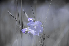 fleur de campagne (www.studiopessinger.fr) Tags: fleur vegetal violet couleur nature exterieur branches flou champs campagne herbe flower mauve colour campaign grass profondeur de champ poesie douceur calme pétale flore