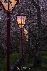 FXT23996 (kevinegng) Tags: japan aomoriprefecture hirosaki hirosakicastlepark sakura cherryblossom 日本 青森県 弘前市 弘前公園 nightphotography nightscene nightsakura 夜桜 lanterns