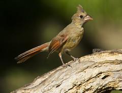 juvenile Northern Cardinal, female (AllHarts) Tags: juvenilefemalenortherncardinal backyardbirds memphistn naturescarousel