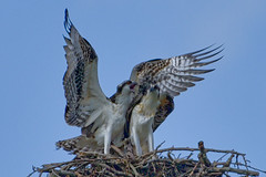 144 (GJSmith Photography) Tags: osprey gjsmith birds nikon d750 200m 500m clutch nest birding 500mm uper telephoto