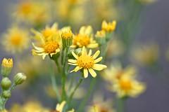 Raukenblättriges Greiskraut (izoll) Tags: raukenblättrigesgreiskraut senecioerucifolius izoll sony alpha77ii nahaufnahmen makro macro blüten blüte bokeh juli natur wiesenblumen weidenblüten