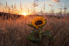 summer light (Lena Held) Tags: sunset sundown sunlight daylight sunny light afterglow sky clouds fields meadow sunflower flower nature natural summer evening landscape square squareformat vollformat weitwinkel 1635mm f4 outside outdor wildlife 5dsr canon sonnenblume germany german bavaria oberpfalz deutschland bayern