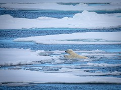 Swimming (Chris Willis 10) Tags: spitzbergenwedding polarbear wildlife spitsbergen svalbard animal nature mammal outdoors sea water winter snow white blue arctic ice carnivore coldtemperature