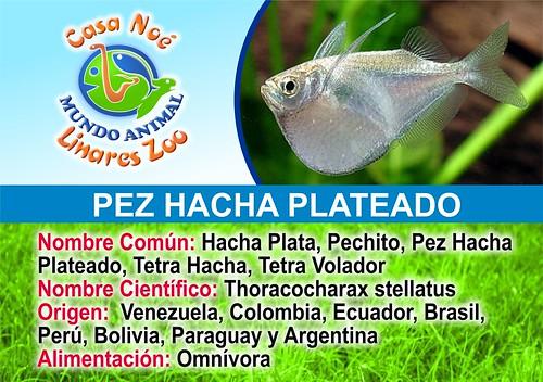 pez hacha plateado