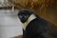 L'Hoest's Monkey (Cercopithecus lhoesti) (Seventh Heaven Photography) Tags: lhoests monkey primate animal mammal nikond3200 cercopithecuslhoesti cercopithecus lhoesti mountain edinburgh zoo lothian scotland