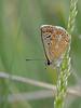 Aricia montensis (diegocon1964) Tags: ariciamontensis lepidoptera papilionoidea lycaenidae polyommatinae polyommatini aricia montensis
