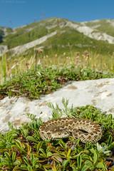 Vipera ursinii in its environment (Michele Remonti) Tags: vipera ursinii viperadellorsini gransasso rettile serpente pentax k3ii da1017 fisheye abruzzo italia italy reptilia