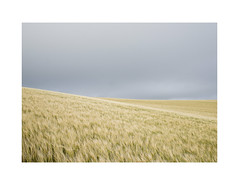 New Crop (danjh75) Tags: wheat field sky walking national trust nikon d610 cornwall coast
