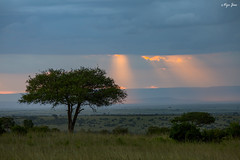Sunset at Masai Mara (V I J U) Tags: 2016 africa kenya masaimara nature safari travel vijujose wildlife narok ke sunset landscape tree sky rays ef100400mmf4556lisusm canoneos5dmarkiii