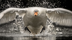 Collision Course (Phil Selby) Tags: swan muteswan swindon wiltshire peatmoorlake