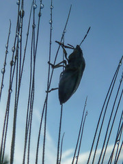 Morgentau (Reinhard_M) Tags: morgentau tau käfer