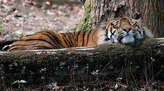 sieste (rondoudou87) Tags: tigre pentax k1 parc zoo reynou wildlife wild nature natur smcpda300mmf40edifsdm sauvage sieste