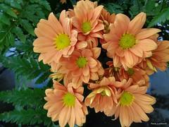 Daisies (Paula Luckhurst) Tags: daisies orangedaisies daisy flowers orangeflowers plants orange green nature