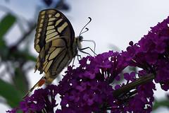 Swallowtail butterfly (jan_2j) Tags: animal belgium butterfly limburg lommel nature pentax art