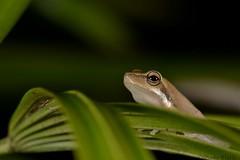Northern Sedge Frog (Litoria bicolor) (shaneblackfnq) Tags: northern sedge frog litoria bicolor fallax dwarf tree shaneblack julatten fnq far north queensland australia tropics tropical