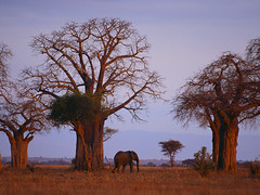 African Elephant Among Baobab Trees Madagascar (mountwall) Tags: hotcelebwallpaperzcom wildlife adansonia africanelephant animals baobabtree elephant evening grassland mammal naturalworld nobody one oneanimal outdoors savanna sunset tree walking