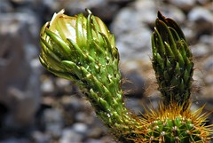 20170603 Preparing for the Flower Explosion (lasertrimman) Tags: 20170603 preparing golden torch for flower explosion goldentourch cactus goldentorch