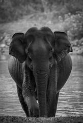 Look Out.....am coming...... (Srinath P Reddy) Tags: 2016 dec junglelodges kabini nbelathur karnataka india elephas maximus canonef100400mmf4556lisiiusm canon 5dmkiv wildlife wildlifephotography naturephotography