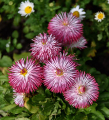 Pink ones White Ones (Jocey K) Tags: southisland newzealand nikond750 christchurch monavale flowers daisy