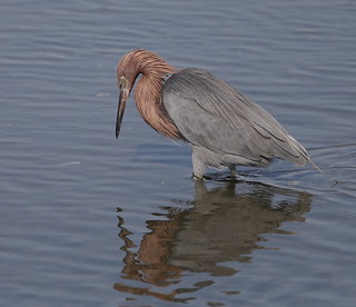 1DX16382 Must be viewed large to see details. Reddish Egret. Bolsa Chica. Huntington Beach California