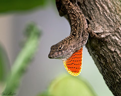 Brown Anole (Norops sagrei) (Frank Shufelt) Tags: brownanole lizard anolissagrei noropssagrei reptile reptilia reptiles wildlife nature miamidadecounty miami florida usa northamerica 2121 june2017