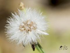Dandelion (lulo92) Tags: flower fiore dandelion dentedileone details dettagli passion mment nikon top king nikontop sigma105 sigma nikonking nikonmacro macropahgy macos