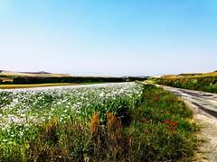 Amapolas blancas y rojas. (nora2santamaria) Tags: amapolas