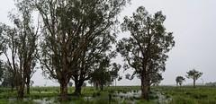 near Paffs Hill (dustaway) Tags: landscape wetday rainyday trees plain water rain melaleucaquinquenervia broadleavedpaperbark rurallandscape ruralaustralia overcast australianweather richmondvalley richmondriverfloodplains northernrivers nsw australia australianlandscape