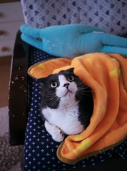 Have a great week, you all : ) (Long Sleeper (busy!)) Tags: sachi scottishfold tuxedocat cat pet animal portrait chair blanket cushion dmcgx1