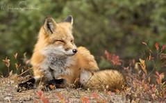 Red Fox (martinaschneider) Tags: fox algonquinpark fall fallleaves sleepy animal wildlife