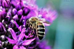 busy bee...🐝 (martinap.1) Tags: bee biene nikond3300 nikon40mmmacro makro insekt insect garten blume blossom pink rosa busy purple macro nature natur