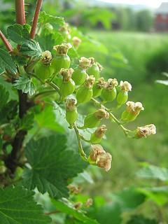 My Garden: Redcurrant, Ribes Rubrum, Hagerips