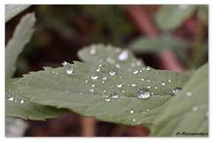 Fresh Raindrops #MM (metsemakers) Tags: raindrops rain leafs nature natuur limburg middenlimburg haelen
