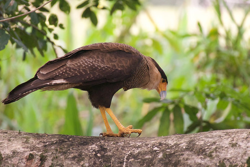 brazil-pantanal-caiman-lodge-caracara-copyright-thomas-power-pura-aventura