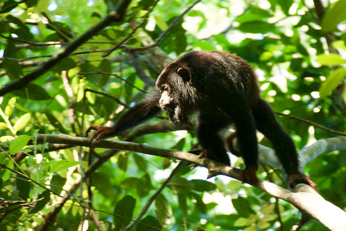brazil-amazon-cristalino-lodge-red-handed-howler-monkey-two-copyright-thomas-power-pura-aventura