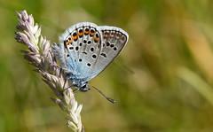 Silver-studded Blue (Plebejus argus) male (festoon1) Tags: silverstuddedblue plebejusargus butterfly preesheath