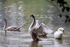 Swan (Bakuman3188) Tags: schwäne svanar 天鹅 swan svane cygnus cygnes 고니속 ハクチョウ属 svaner лебеди joutsenet strausberg märkischoderland brandenburg germany deutschland straussee see lake nature natur wasser water