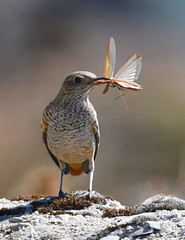 Melro-das-rochas / Rock thrush - female (anacm.silva) Tags: melrodasrochas ave bird wild wildlife nature natureza naturaleza birds aves serradalousã portugal rockthrush monticolasaxatilis