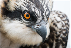 Osprey Chick (Nikographer [Jon]) Tags: osprey chick nestling maryland md 201706175005068 spring jun june 2017 bird birds nature wildlife eye beak nikographer macro