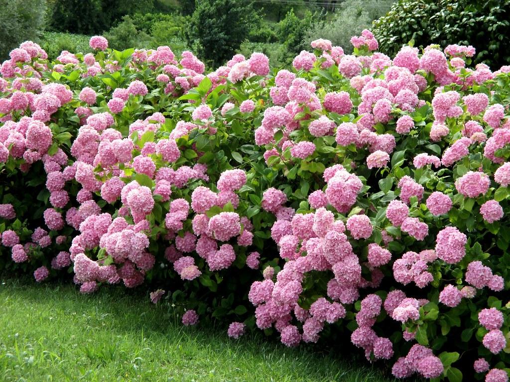 The world 39 s best photos of fiori and ortensie flickr - Ortensie colori ...