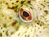 _1190399 (chevalbenjamin) Tags: finistère baiededouarnenez viemarine bretagne underwater scubadiving seaocean fish eyes