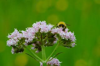 Bumblebee on pink umbellifer flowers