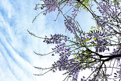 Complementary clouds (Pog's pix) Tags: wisteria flowering purple blue sky spring garden stewarton ayrshire eastayrshire colourful colours flowers white clouds lookingup seasonal pretty swirlings curves green leaves backlit