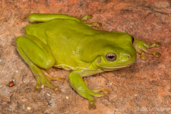 Green Tree Frog (Litoria caerulea) (JLoyacano) Tags: frog greentreefroglitoriacaerulea jacobloyacano litoriacaerulea treefrog wa westernaustralia anura greentreefrog herp herping kimberley litoria