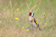 Goldfinch (Rob Christiaans  Nature and Wildlife) Tags: canon5dmkiii canonef500mmf4is goldfinch putter bird wildife veluwe hogeveluwe